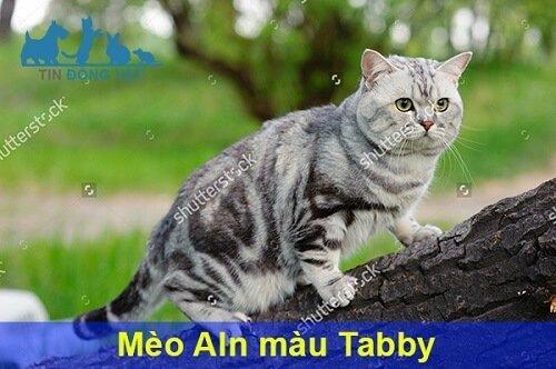 mèo anh lông ngắn màu tabby