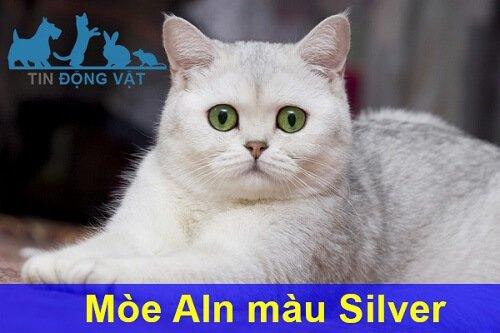 Mèo anh lông ngắn màu Silver