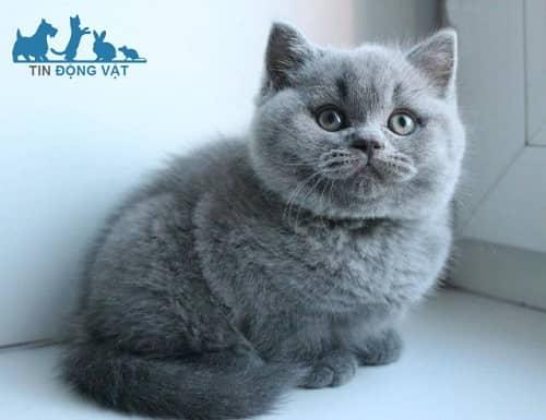 mèo anh lông ngắn màu xám xanh