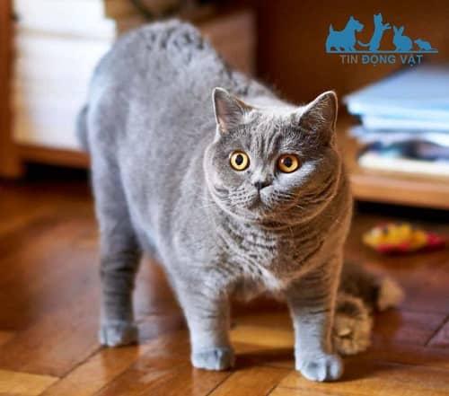ngoại hình mèo anh lông ngắn