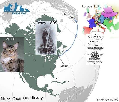 lịch sử nguồn gốc mèo maine coon