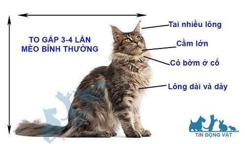 nhận diện một con mèo maine coon