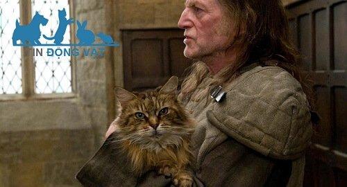 norris trong harry potter là mèo maine coon