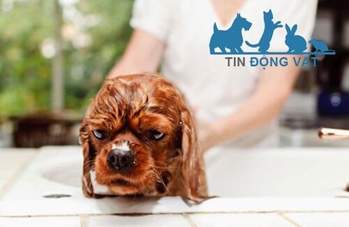 cách chăm sóc chó lông xù