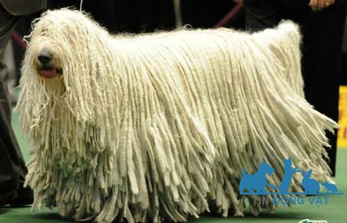 chó lông siêu dài