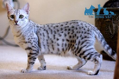 Mèo Mau Ai Cập giá bao nhiêu tiền? Mua ở đâu tại Việt nam