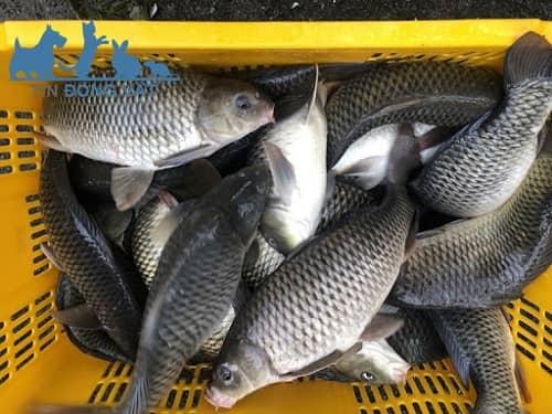 giá cá chép giòn bao nhiêu