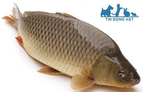 cá chép giòn là cá gì
