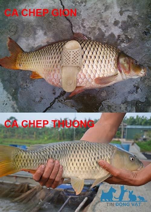 phân biệt cá chép giòn và cá chép thường