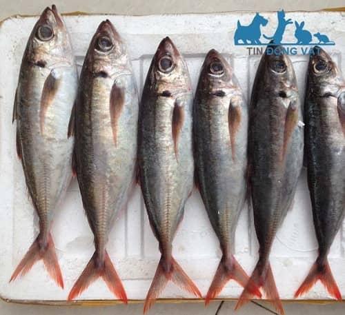 cá nục đuôi đỏ