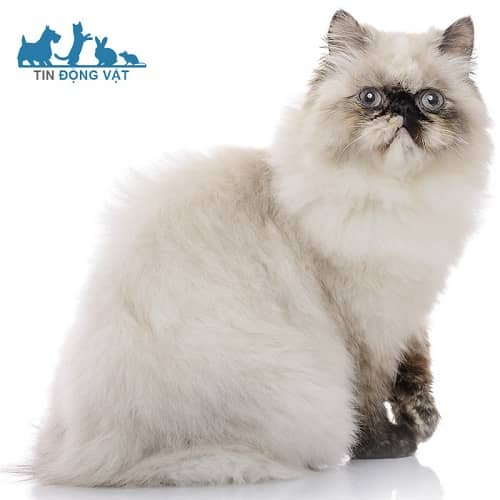 giá mèo ba tư xám