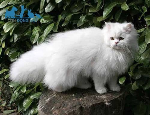 mèo ba tư lông ngắn giá
