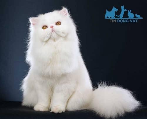 giá mèo ba tư thuần chủng